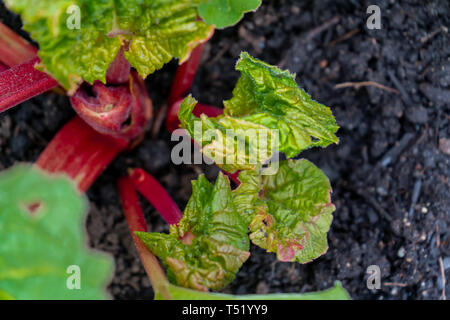 Red rhubarb crown growing stalks in early spring, with new leaves. Leaves contain oxalic acid. - Stock Photo