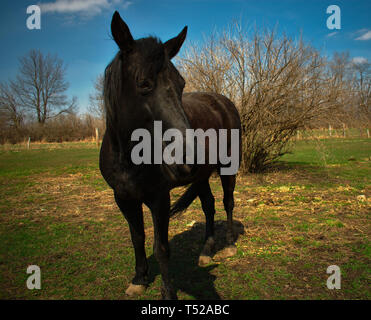Tennessee walker horse standing in a pasture - Stock Photo