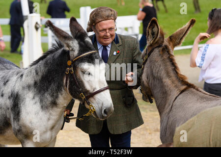 Female handler or entrant (tweed riding jacket & hairnet) holding reins of 2 donkeys before equestrian completion - Great Yorkshire Show, England, UK. - Stock Photo