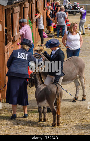 Handlers (equestrian completion entrants) prepare animals (donkey & foal) in stable yard as visitors view stables - Great Yorkshire Show, England, UK. - Stock Photo