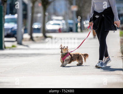 An elegant young girl in sportswear walks her small, playful dog on a leash - a shaggy terrier dog, who merrily runs down the street with devotion loo - Stock Photo