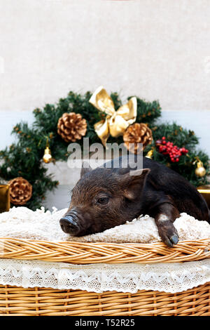 One black pigs of Vietnamese breed sits in a wicker basket near the Christmas decoration. Concept of the New Year. - Stock Photo