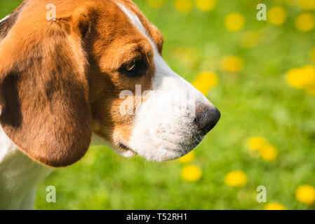 Beagle dog head in a garden with big ears. Head closeup on left side profile. Copy space on right - Stock Photo