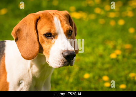 Beagle dog head in a garden with big ears. Head closeup on left side. Copy space on right - Stock Photo