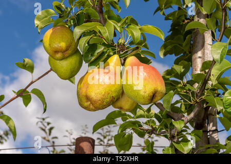 bunch of yellow ripe pears on branch with leaves in the rays of the sun. Copy space - Stock Photo