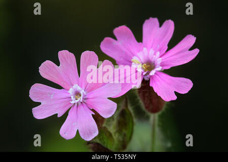 Silene dioica,  known as red campion and red catchfly - Stock Photo