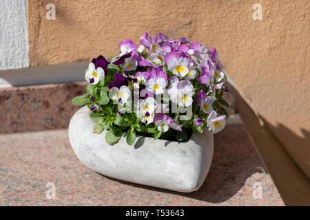 beautiful pansy summer flowers in flowerpots in garden. - Stock Photo