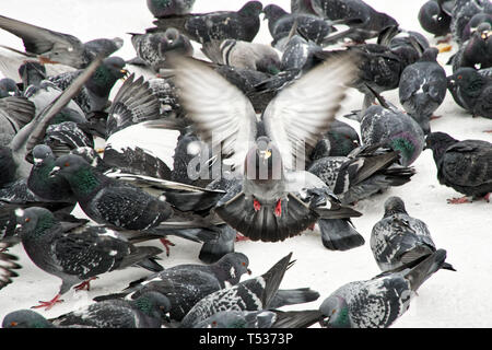 City pigeons feed on bread crumbs. Feeding birds in winter. Group - Stock Photo