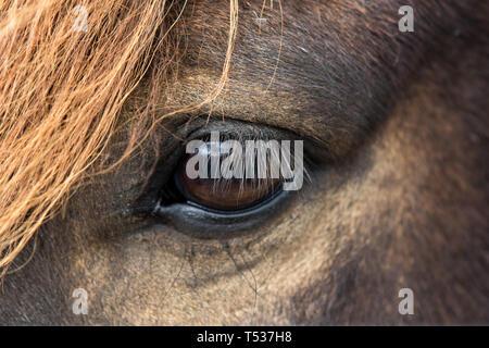 Close up beautiful big bright dark eye of icelandic horse with with eyelashes and an orange fringe - Stock Photo