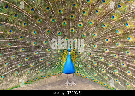 Beautiful (Indian) peafowl or blue peafowl (Pavo cristatus), large and brightly coloured bird - Stock Photo