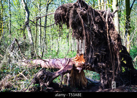 Fallen tree in a forest showing roots and soil - Stock Photo