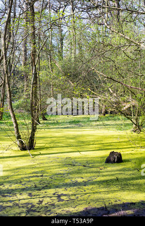 Stagnant pond in a wood, UK. Green algae or duckweed growing on the surface - Stock Photo