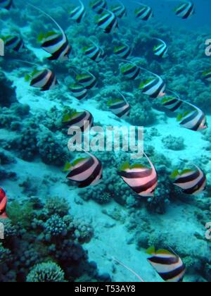 Schooling Bannerfish ( Heniochus diphreutes ). Taken in Red Sea, Egypt - Stock Photo