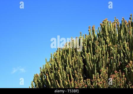 Candelabrum spurge against the blue sky, Euphorbia candelabrum, cactus, Canary Islands - Stock Photo
