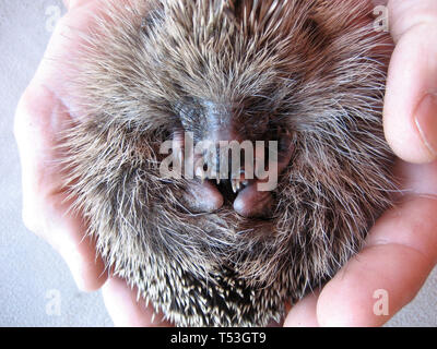 Hedgehog Igel - Stock Photo