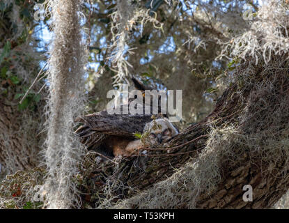Female Great Horned owl (Bubo viginianus) in the wild with her owlets in a large Live Oak in Florida - Stock Photo