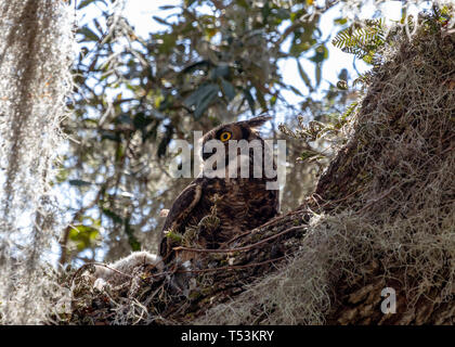 Female Great horned owl watching over her two owlets in nest - Stock Photo