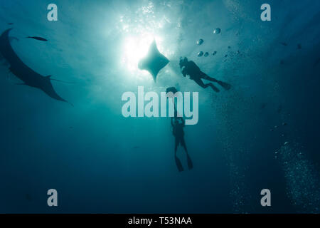 Two giant oceanic manta rays,or devilfish,  Manta birostris, posing near diver while cameraman captures their picture - Stock Photo
