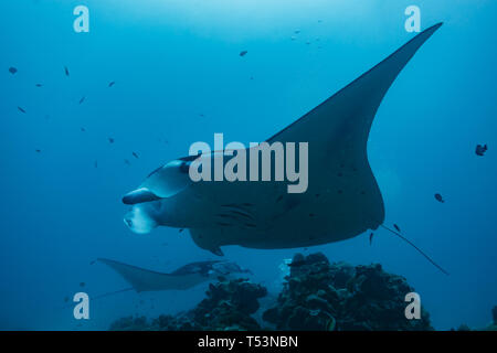 Closeup of two giant oceanic manta rays Manta birostris, swimming close above the coral reef - Stock Photo