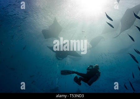 Diver close to giant manta rays, manta birostris, pauses to take a picture - Stock Photo