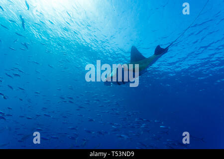 Giant oceanic manta ray, Manta birostris, turns in turquoise water near surface toward school of large fish - Stock Photo