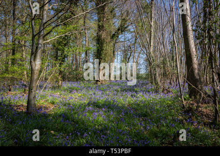 Bluebells on the woodland floor in spring - Stock Photo