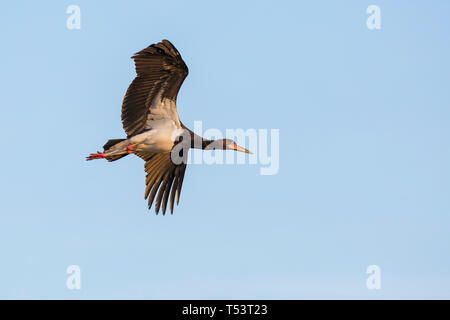 A single Black Stork flying in warm early morning light, close view from beneath, Ol Pejeta Conservancy, Laikipia, Kenya, Africa - Stock Photo