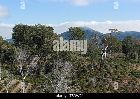 Coffee plantation in the highland at Boquete Panama - Stock Photo