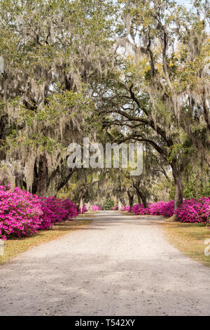 Azalea flowers in full bloom along the avenue of oaks in Bonaventure Cemetery in Savannah, Georgia - Stock Photo