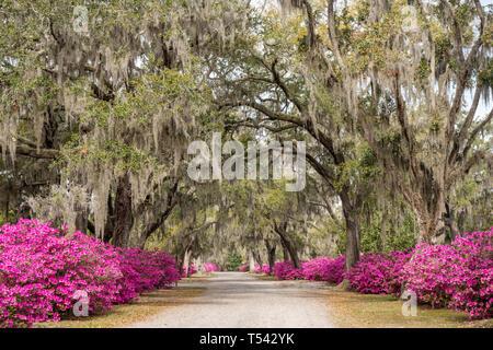 Azalea flowers in full bloom along the avenue of oaks in Bonaventure Cemetery in Savannah, Georgia - Stock Photo
