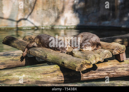 Beavers sleeping on a pile of wood - Stock Photo