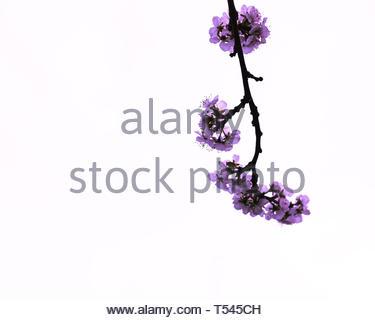 minimalist blossom, flower tree, white background - Stock Photo