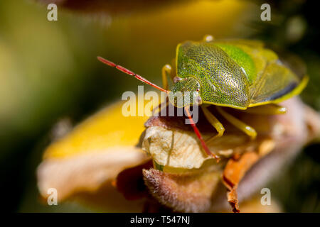 UK wildlife: Post over-wintering adult gorse shieldbug with spring colour formation sitting on a gorse flower, UK - Stock Photo