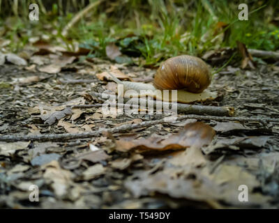 a pale snail with a snail shell crossing a small branch on the ground - Stock Photo