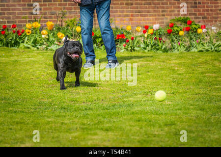 Black Staffordshire bull terrier dog running chasing after a tennis ball thrown by a man, on grass in a garden or back yard with tulips and a brick wa - Stock Photo