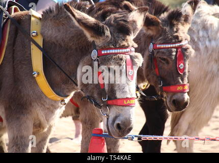 Skegness, UK. 20th Apr, 2019. Donkeys seen waiting to be selected by children for a ride on the beach during Easter. People enjoy the unseasonably warm Easter weather in the UK - especially the children having donkey rides on the sandy beach at Skegness. The traditional seaside attraction started in Victorian times, but is now seen much less in the major resorts, but is still popular on the Lincolnshire beaches of Skegness, Mablethorpe and Ingoldmells. Credit: SOPA Images Limited/Alamy Live News - Stock Photo