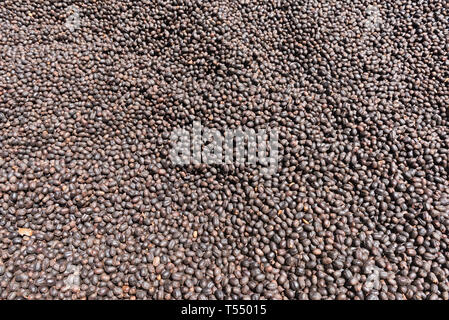 Coffee beans drying in the sun on a coffee plantation - Stock Photo