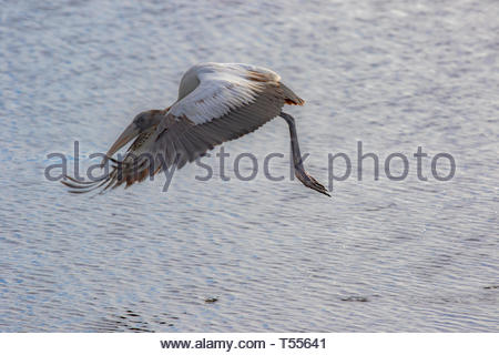Wood Stork searching for food in the marshlands of Merritt Island National Wildlife Refuge on the East coast of Florida. - Stock Photo