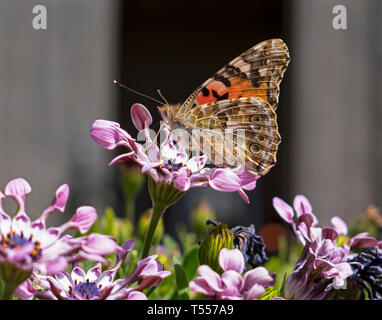 profile of a painted lady butterfly on a lavender african whirlygig daisy with a blurred black and grey background - Stock Photo
