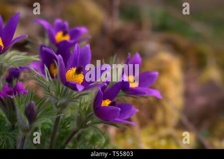 A pasque flower bunch in a garden with stones overwhelmed with moss in the blurry background. - Stock Photo