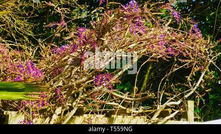 Wisteria starting to bloom at the start of Spring.  Taken in Devon UK - Stock Photo