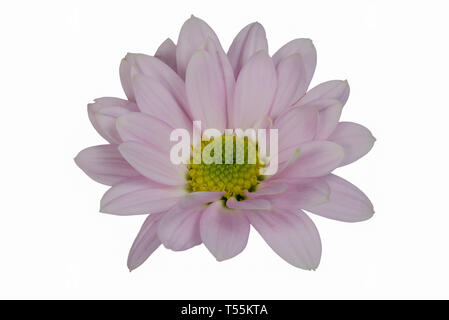Closeup focus stacked shot of an isolated light lila flower isolated on white background with clipping path - Stock Photo