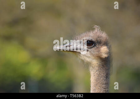 Female Ostrich Close Up of Head, Neck and Face Portrait - Stock Photo
