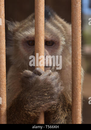 Very cute monkey clinging to the bars of a jail. - Stock Photo