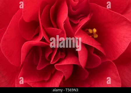 Single pink camellia flower close up full frame - Stock Photo