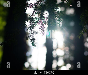 Morning sunlight Peeking Through the Trees in a dense evergreen forest - Stock Photo