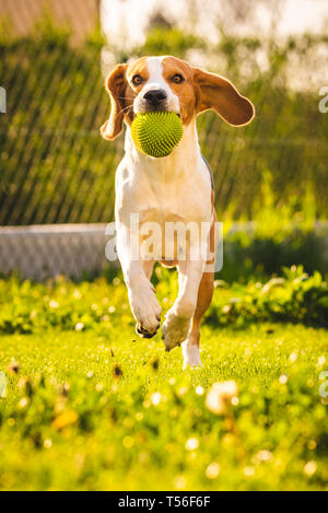 Beagle dog fun in garden outdoors run and jump with ball towards camera. Sunny day in garden - Stock Photo