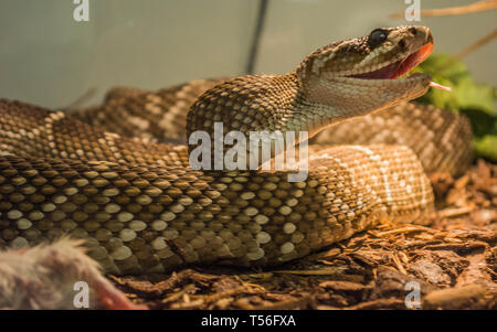 Mexican black-tailed rattlesnake, crotalus molossus nigrescens - Stock Photo