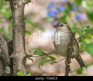 Closeup of a female house sparrow perched on a tree branch. - Stock Photo