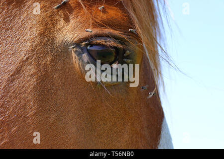 Horse head with a lot of flies around the eye close up - Stock Photo